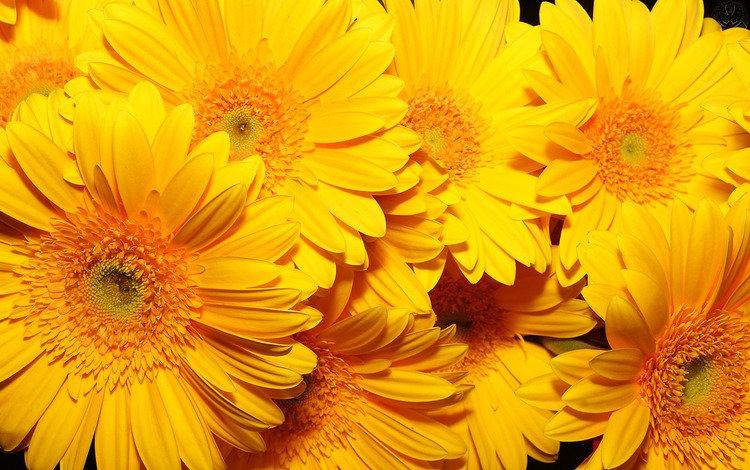 цветы, фон, желтые, очень, flowers, background, yellow, very