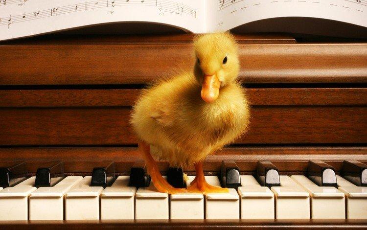 ноты, клавиши, утенок, notes, keys, duck