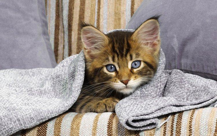 глаза, кот, взгляд, котенок, диван, eyes, cat, look, kitty, sofa