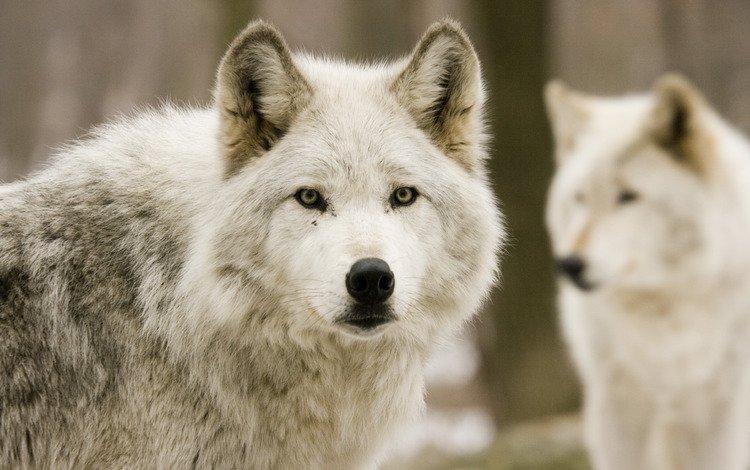 природа, лес, волк, nature, forest, wolf