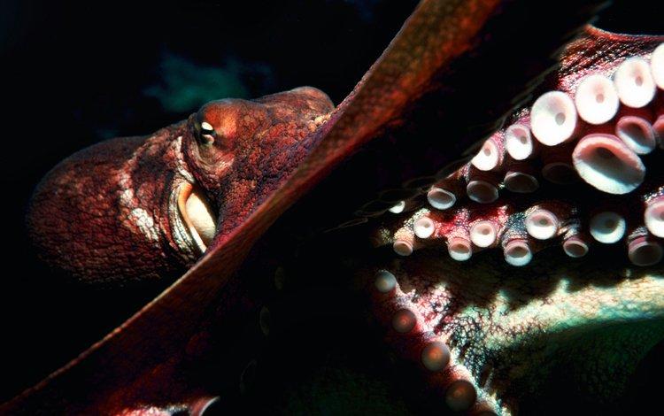 осьминог, океан, глубина, подводный мир, octopus, the ocean, depth, underwater world