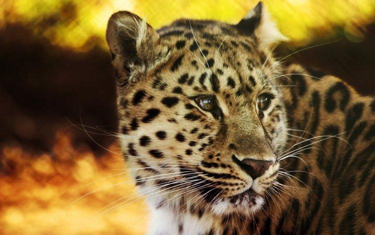 леопард, пятна, leopard, spot