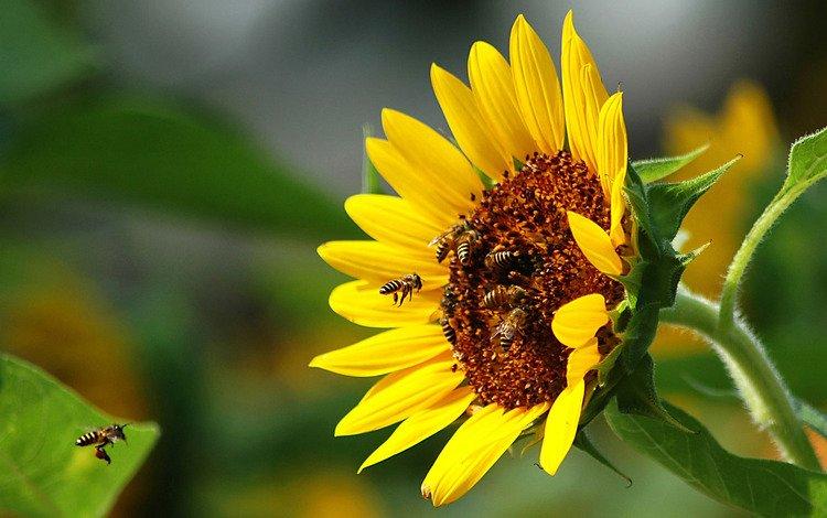 подсолнух, пчелы, sunflower, bees