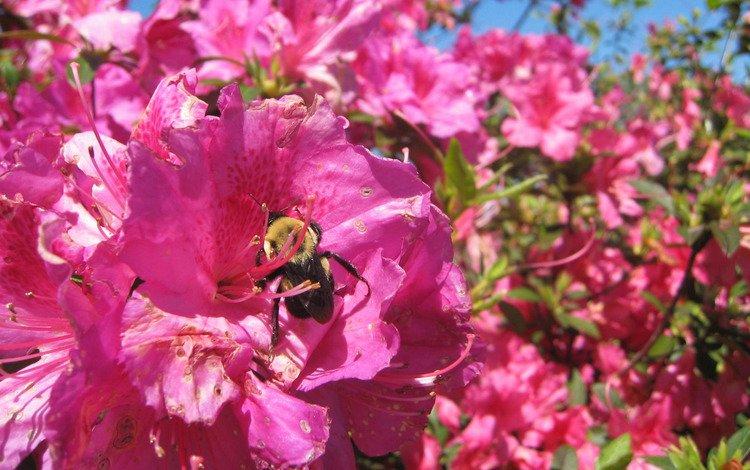 цветок, лето, шмель, flower, summer, bumblebee