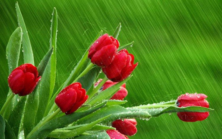 капли, дождь, тюльпаны, drops, rain, tulips