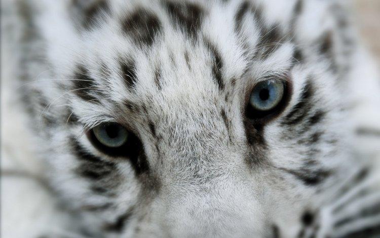 тигр, тигренок, тирг, tiger, til
