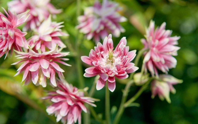 цветы, аквилегия, flowers, aquilegia