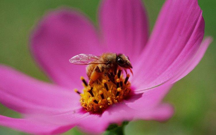 бутон, пчела, нектар, bud, bee, nectar