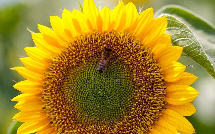 подсолнух, пчела, sunflower, bee