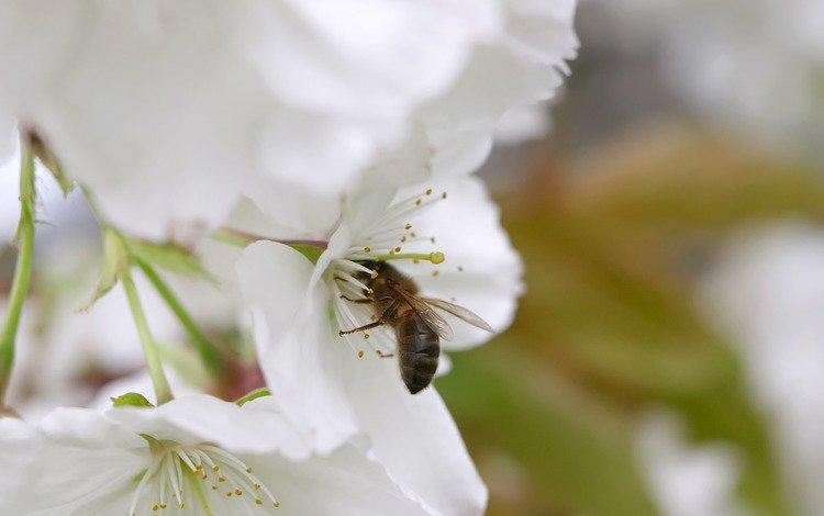 весна, яблоня, пчела, spring, apple, bee