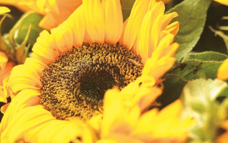 желтый, цветок, лепестки, подсолнух, крупным планом, yellow, flower, petals, sunflower, closeup