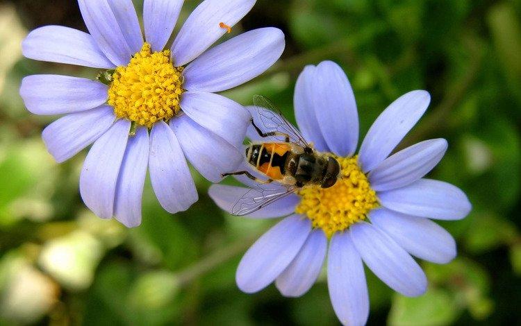 ромашка, пчела, daisy, bee