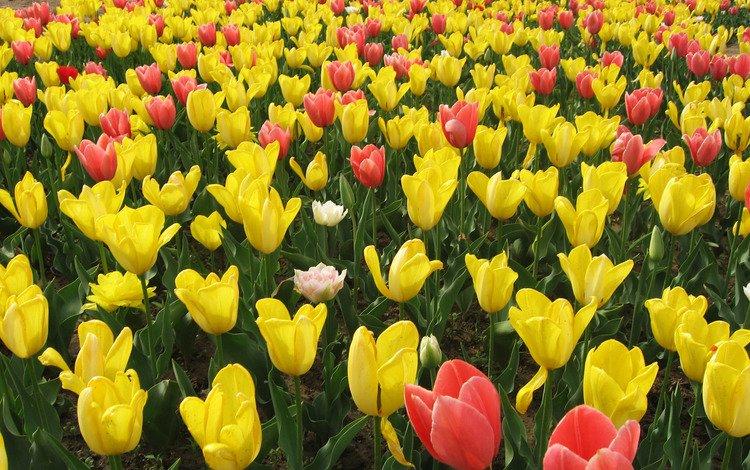 цветы, тюльпаны, flowers, tulips