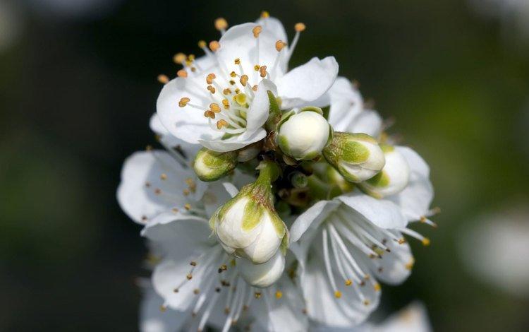 цветение, весна, яблоня, flowering, spring, apple