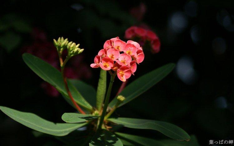цветы, молочай, flowers, euphorbia