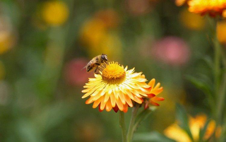 цветок, растение, пчела, опыление, flower, plant, bee, pollination