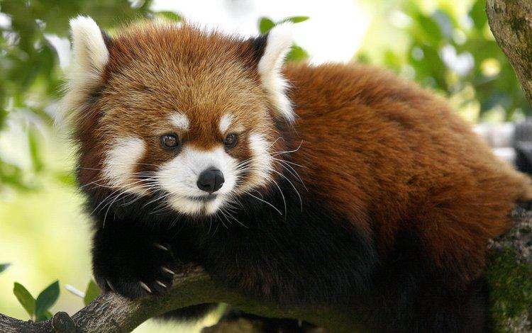 красная панда, red panda