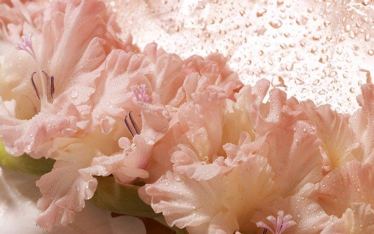 цветок, капли, мокрый, гладиолус, flower, drops, wet, gladiolus