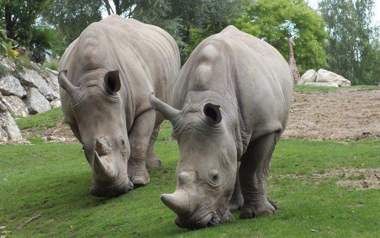 носорог, носороги, rhino, rhinos