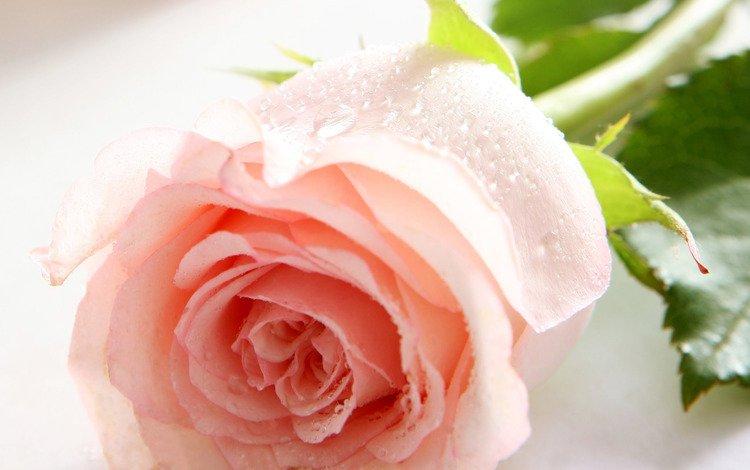 цветок, роса, капли, роза, лепестки, розовая, flower, rosa, drops, rose, petals, pink
