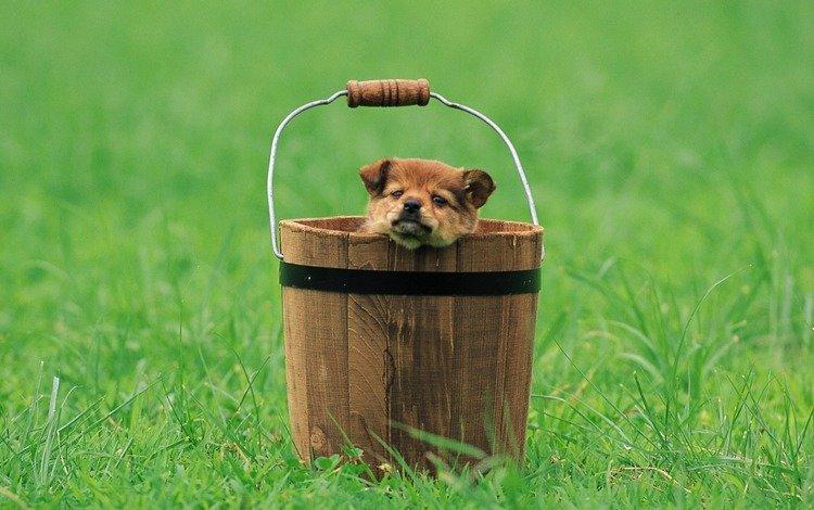 взгляд, щенок, полянка, ведро, look, puppy, clearing, bucket