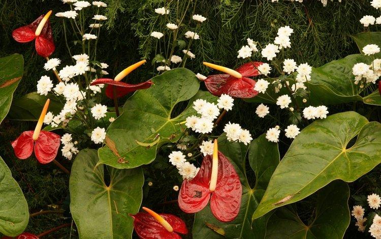 цветы, листья, капли, букет, хризантемы, антуриум, flowers, leaves, drops, bouquet, chrysanthemum, anthurium