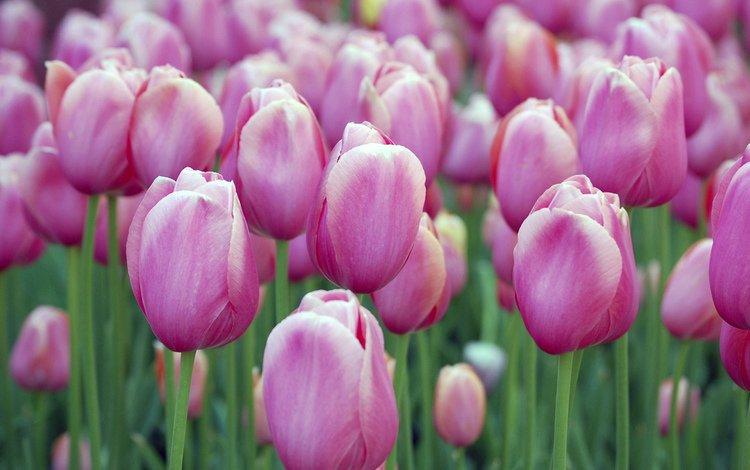 бутоны, тюльпаны, buds, tulips