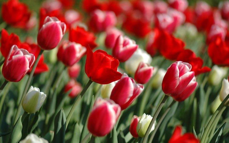 цветы, весна, тюльпаны, flowers, spring, tulips