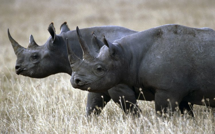 трава, пара, прогулка, носороги, grass, pair, walk, rhinos