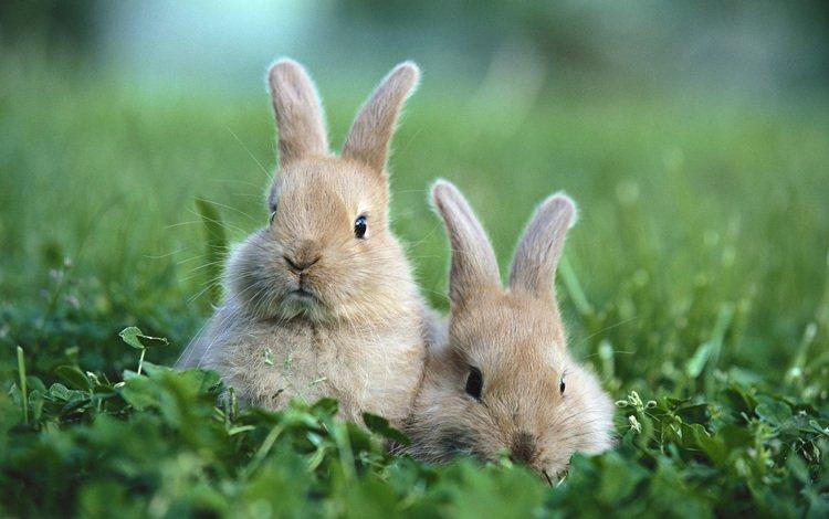 трава, поляна, кролики, grass, glade, rabbits