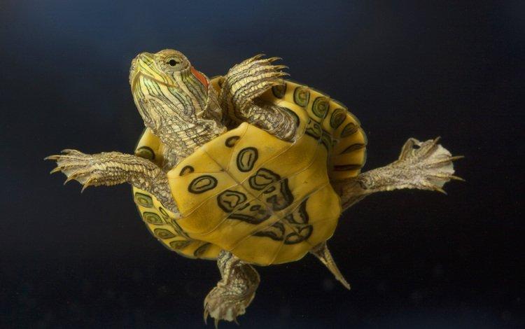 макро, животные, черепаха, macro, animals, turtle