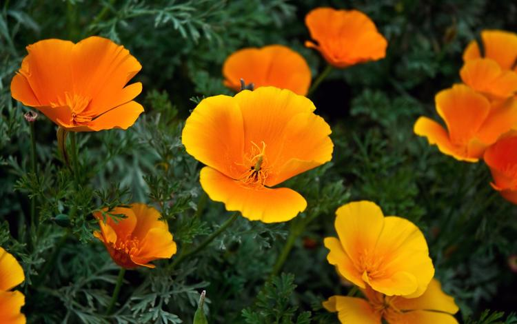 цветы, эшшольция, калифорнийский мак, flowers, escholzia, california poppy