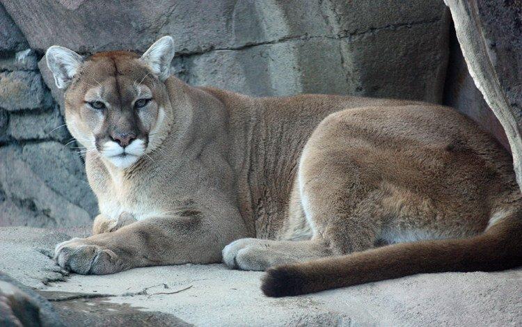 львица, lioness
