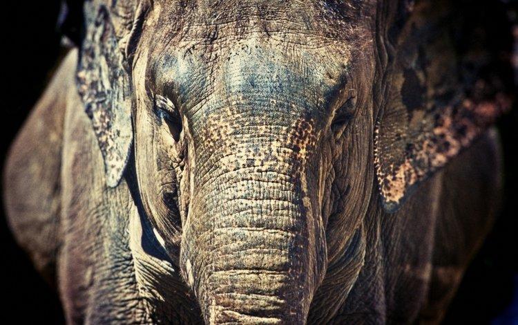 морда, слон, face, elephant