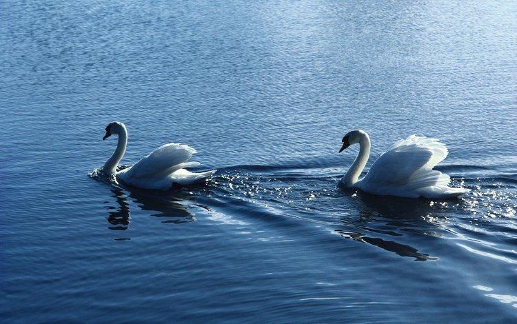 вода, птицы, пара, белые, лебеди, рябь, water, birds, pair, white, swans, ruffle