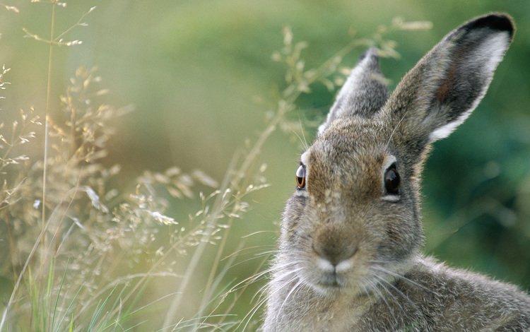 заяц, hare