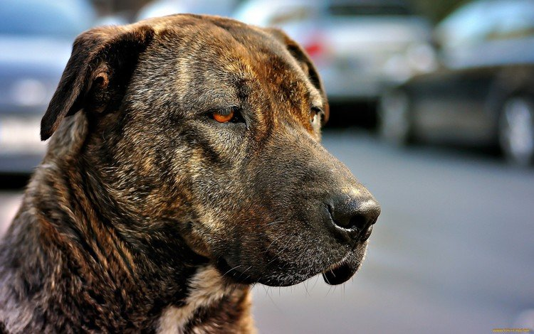 face, sadness, look, dog, color, red eyes, amstaff