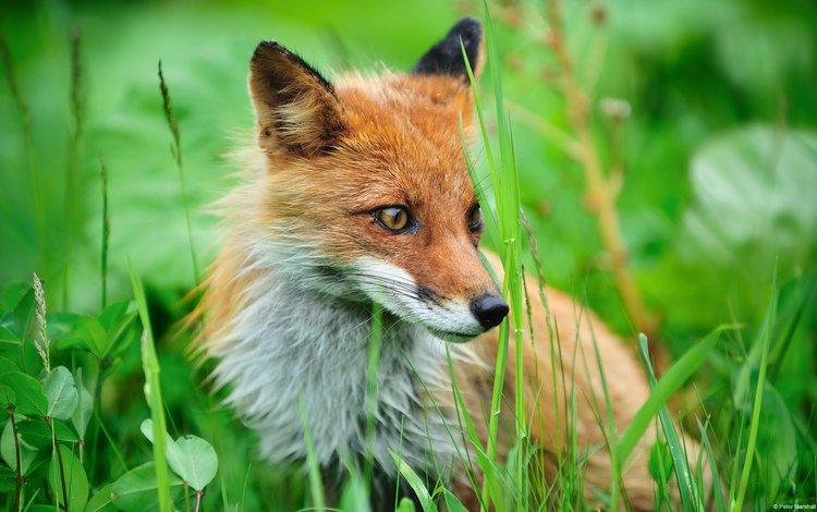 лиса, fox
