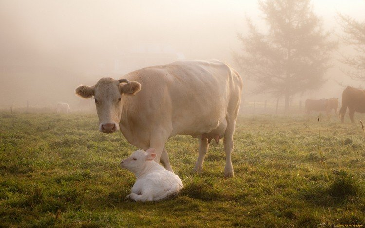 трава, животные, туман, забота, корова, коровы, телёнок, корова с теленком, grass, animals, fog, care, cow, cows, calf, cow with calf