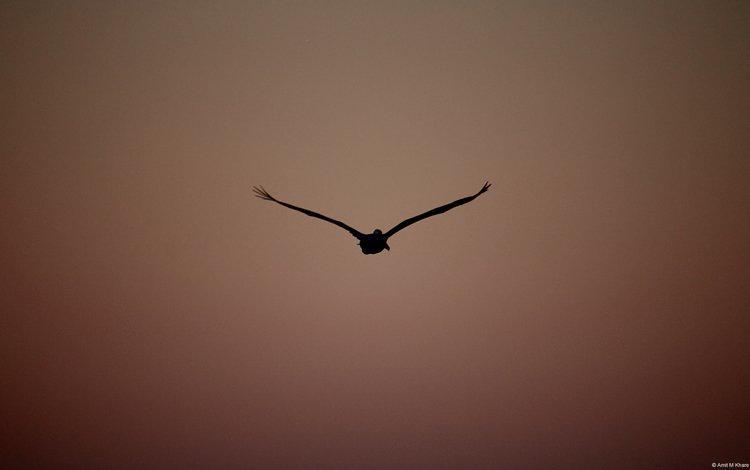 полет, птица, пеликан, flight, bird, pelican