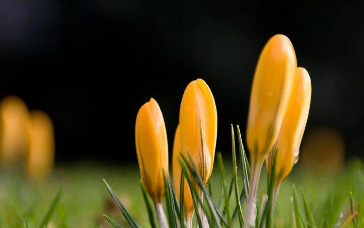 цветы, капли, весна, желтые, крокусы, желтый первоцвет, flowers, drops, spring, yellow, crocuses, yellow primrose