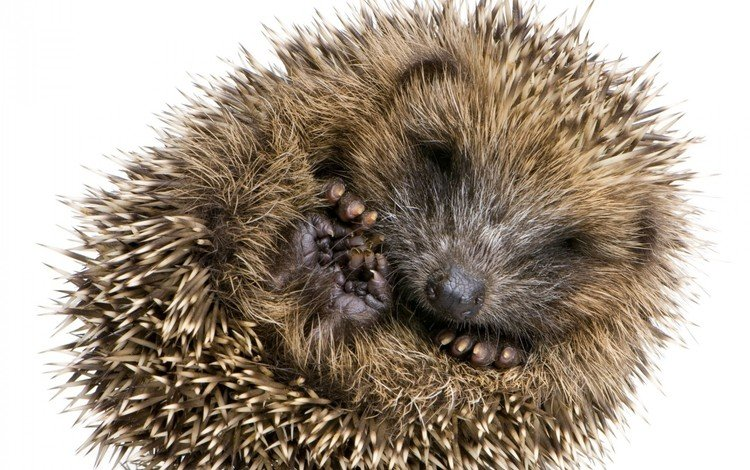 ежик, клубочек, hedgehog, a ball