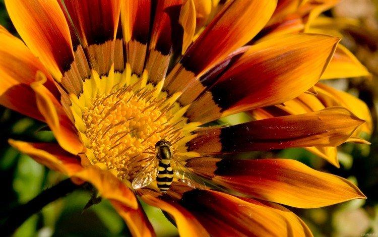 пчела на цветочке, bee on a flower