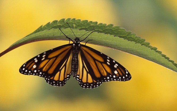 насекомое, бабочка, крылья, листочек, insect, butterfly, wings, leaf