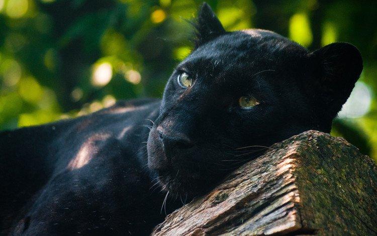 лежит, хищник, пантера, черная, наблюдает, пантера лежит, на бревне, lies, predator, panther, black, watching, panther lies, on the log