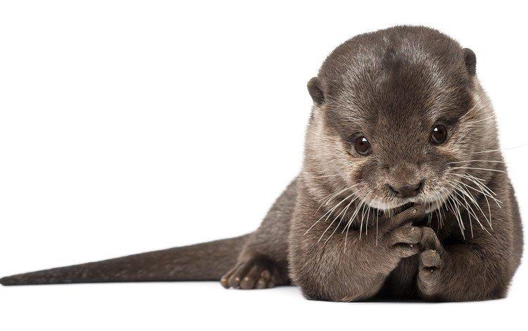 мордочка, белый фон, зверек, выдра, muzzle, white background, animal, otter