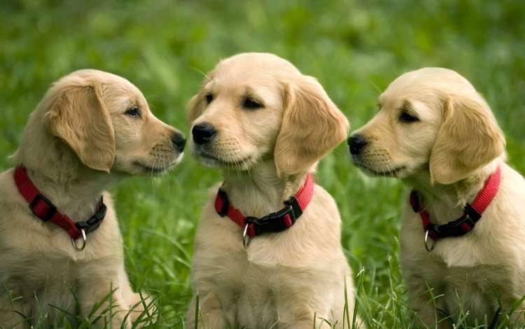 щенки, золотистый, ретривер, puppies, golden, retriever