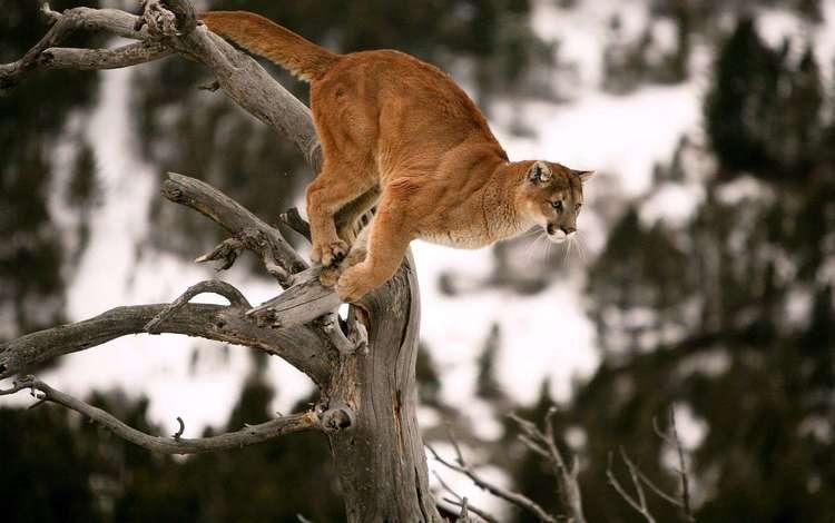 морда, лапы, прыжок, коряга, хвост, пума, face, paws, jump, snag, tail, puma