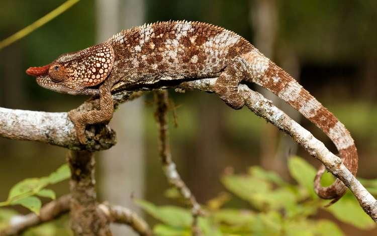 lizard, chameleon
