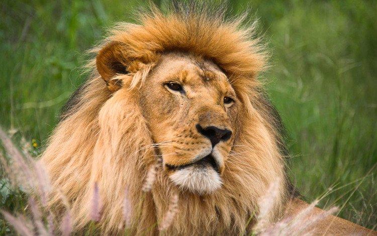 морда, трава, хищник, лев, face, grass, predator, leo